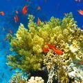 коралл
